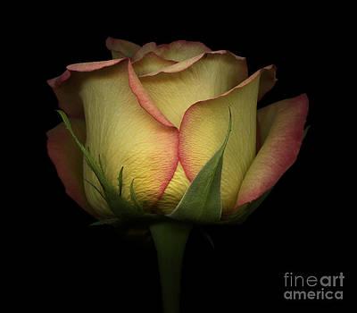 Oscar Gutierrez - Yellow and Red Rose