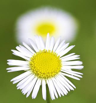 Yellow and White Daisy by Jennifer Lamanca Kaufman