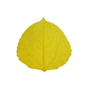 Yellow Aspen Leaf 3 by Agustin Goba
