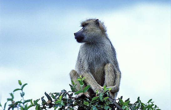 Yellow Baboon in Tree by Tina Manley