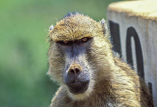 Yellow Baboon by Tina Manley