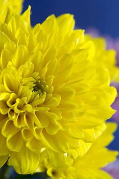 Yellow Beauty by Dana Moyer