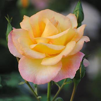 Yellow Beauty by Janice Reed-Martin