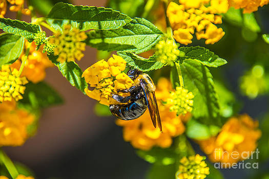 Yellow Bee Yellow Buds by Clear Sky Images