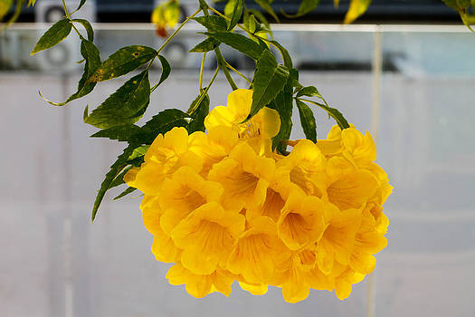 Yellow Bell Singapore Flower by Donald Chen