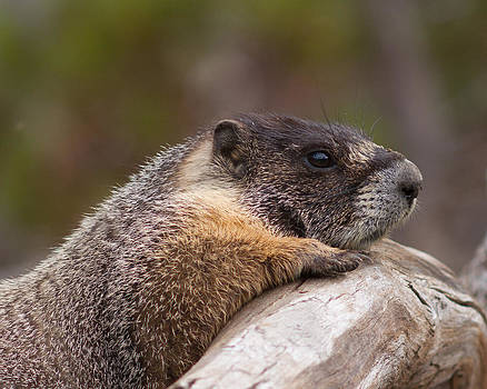 Yellow-bellied Marmot by Doug Herr