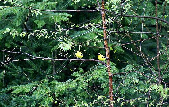 American Goldfinch by Jamie Williams