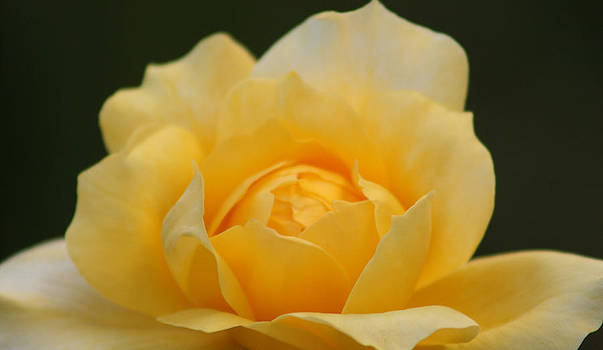 Yellow Bliss by Marna Edwards Flavell