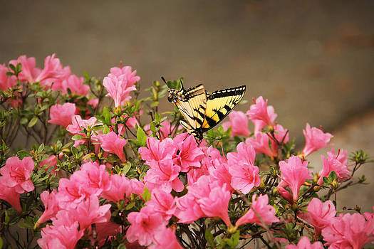 Yellow Butterfly on Pink Blossoms by David Schoenheit