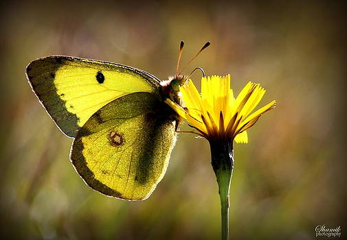Yellow Butterfly by Shamik Tobin