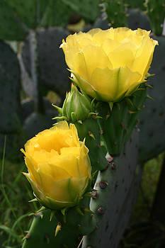 Nina Fosdick - Yellow Cactus Blossoms