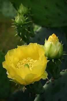 Nina Fosdick - Yellow Cactus Roses