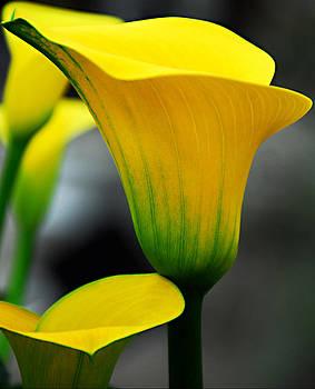 Yellow Calla Lily by JoAnn Lense