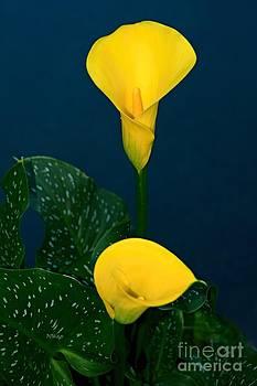Patrick Witz - Yellow Calla Lily