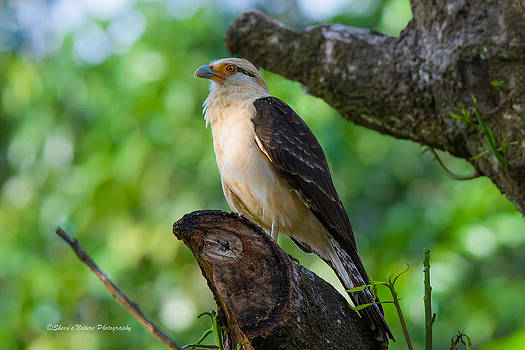 Yellow Caracara by Sheen Watkins