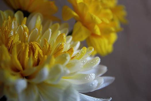 Yellow Chrysanthemum by Lynn Jordan