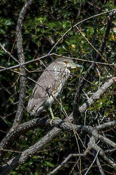 Charles Moore - Yellow Crowned Heron Juvenile