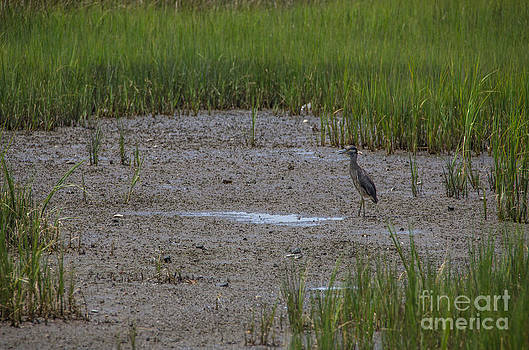 Dale Powell - Yellow Crowned Heron on the Marsh