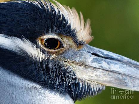 Christine Stack - Yellow-Crowned Night Heron
