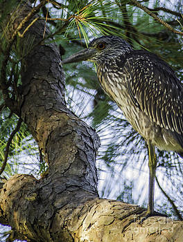 Dale Powell - Yellow-crowned Night Heron