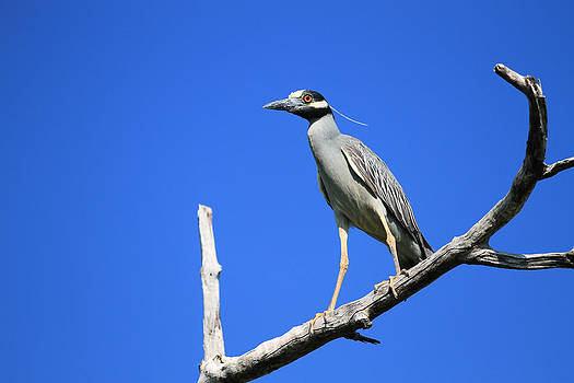 Yellow-Crowned Night Heron by Doug McPherson