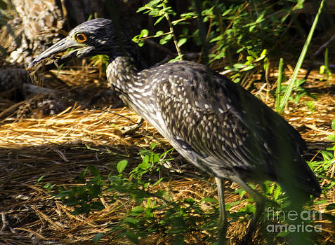 Dale Powell - Yellow-crowned Night Heron eating a fiddler crab dinner