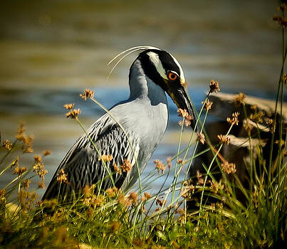 Yellow Crowned Night Heron by Kerry Hauser