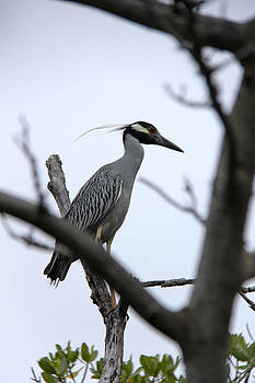 Yellow Crowned night heron by Marta Alfred