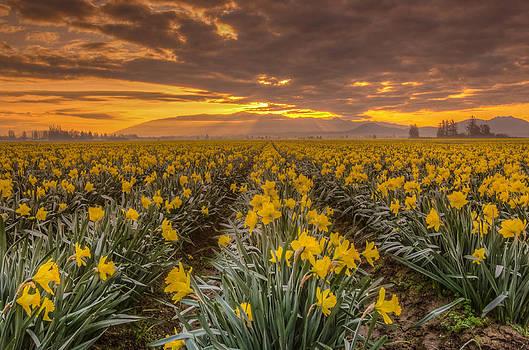 Puget  Exposure - Yellow Daffodil at Sunrise