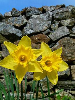 Christine Stack - Yellow Daffodils near Old Stone Wall