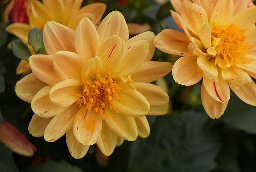 Dawn Hagar - Yellow Dahlia