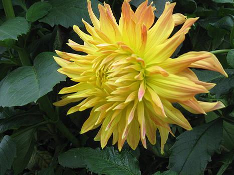 Ellen Miffitt - yellow dahlia in fall