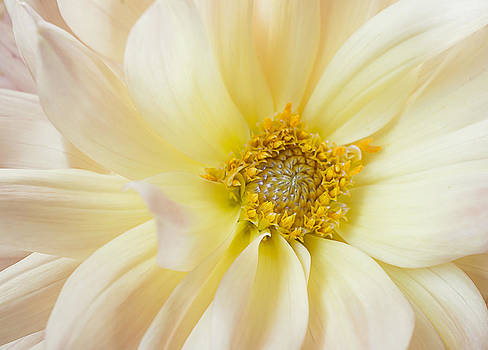 Yellow Dahlia by Mariola Szeliga