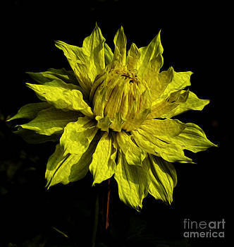 Pravine Chester - Yellow Dahlia