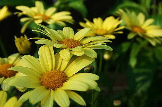 Robin Mahboeb - yellow daisies