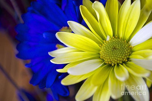 Yellow Daisy Flower by Briella Danowski