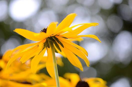 Yellow Daisy by Kathy Paynter