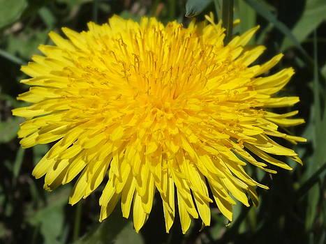 Gene Cyr - Yellow Dandelion