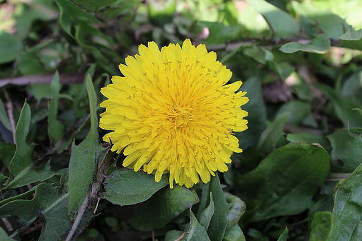 Yellow dandelion by Khoa Luu