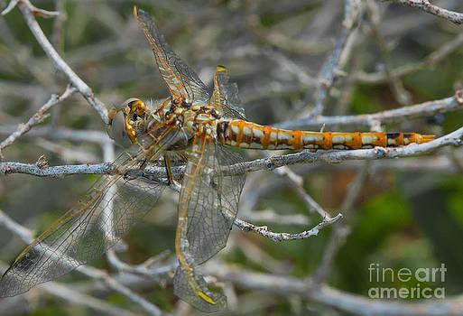 Mae Wertz - Yellow Dragonfly