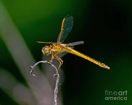 Stephen Whalen - Yellow Dragonfly