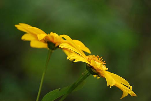 Yellow Dye by Lorenzo Cassina