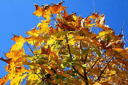 Yellow Fall Leaves by Beth Andersen