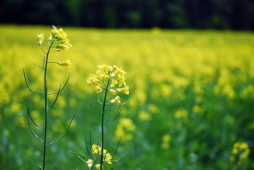 Yellow Field by Donna Desrosiers