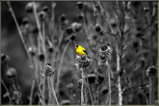 Yellow Finch by Jens Larsen