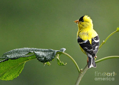 Yellow Finch by Nava Thompson