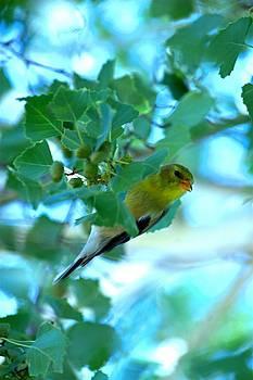 Yellow Finch peeking by Rebecca Adams