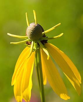 Devinder Sangha - Yellow flower