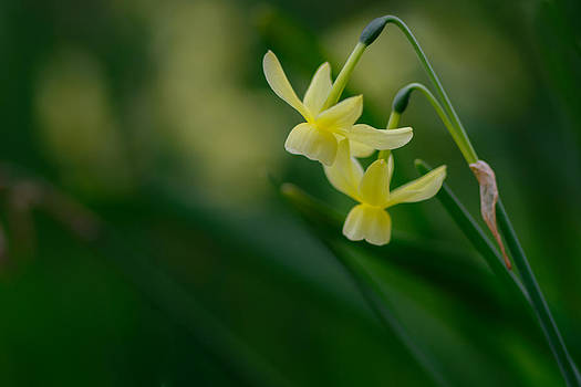 Yellow flower by Dheeraj Mallemala