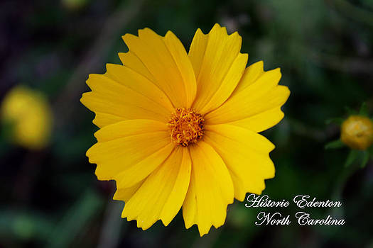 Yellow Flower From Cupola House Garden by Carolyn Ricks
